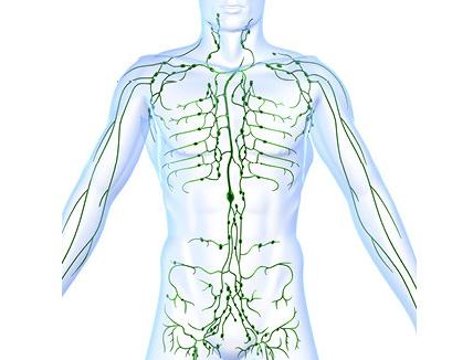 Foto 1 - sistema linfatico